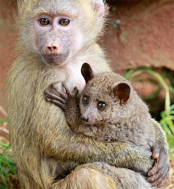 bush-baby-baboon