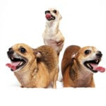 chihuahuas-tongues-out