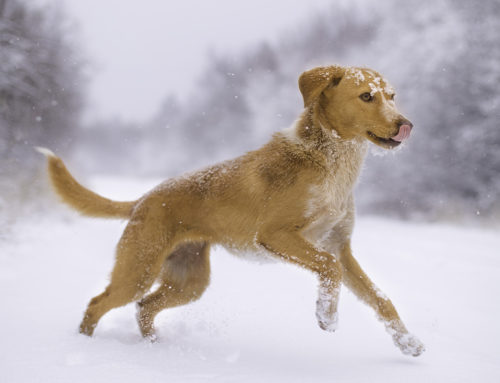 Winter Safety Tips to Keep Man's Best Friend Safe and Warm