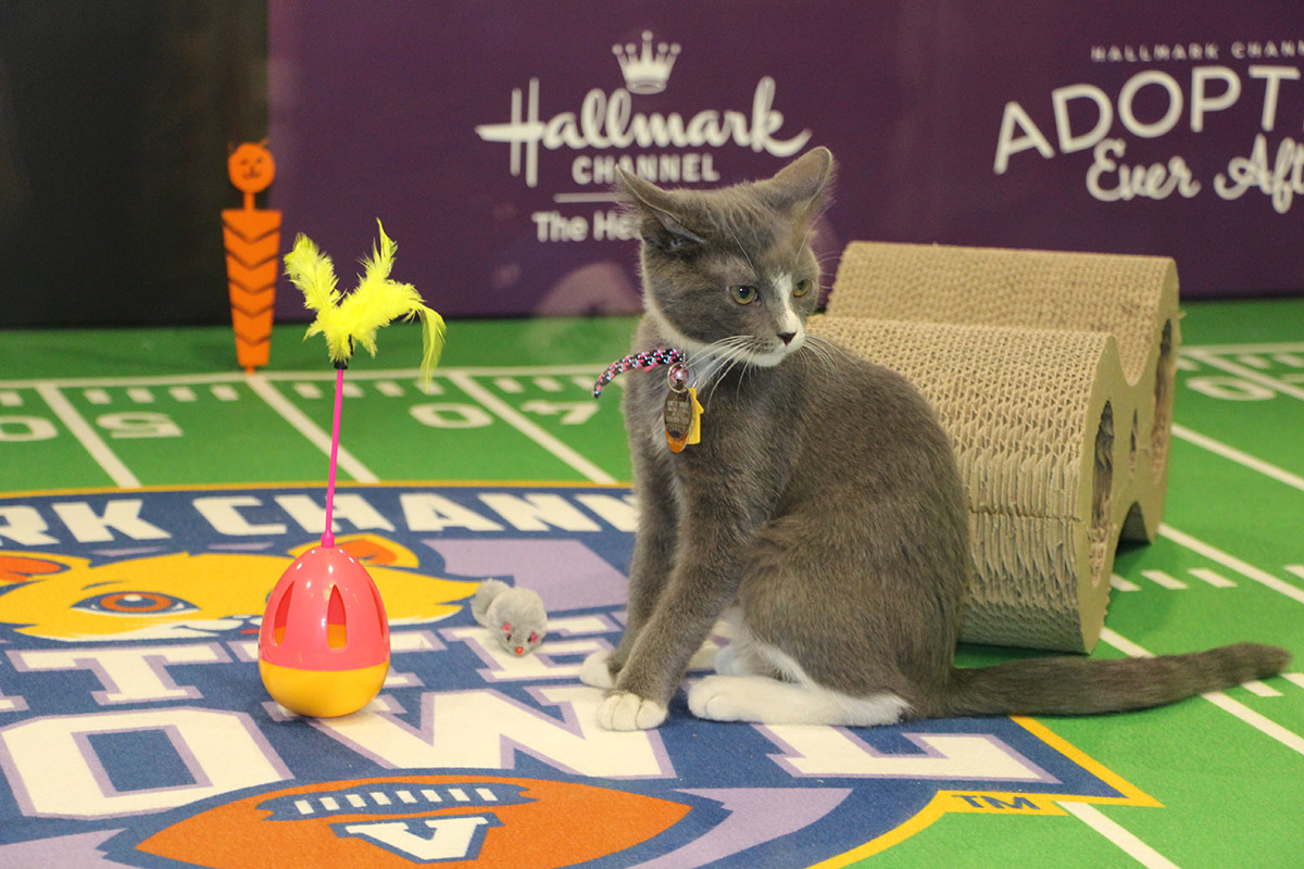 Hallmark Channel S Kitten Bowl Live Was The Cat S Meow In Minneapolis Animal League