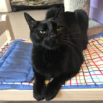 sponsor-pet-pom-pom-d48272-black-male-cat-img7612-052218