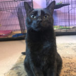sponsor-pet-pom-pom-d48272-black-male-cat-img8502-052218