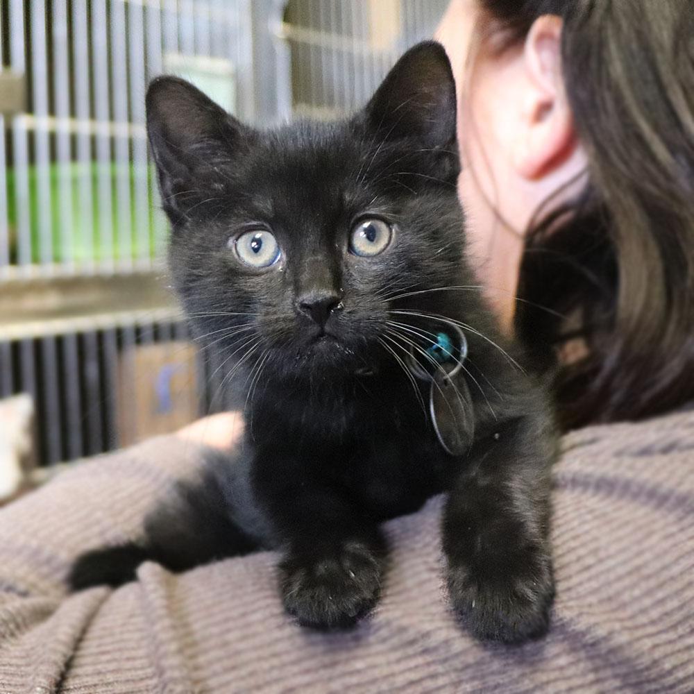 H209832 Jay Male Black Dsh Kitten Animal League
