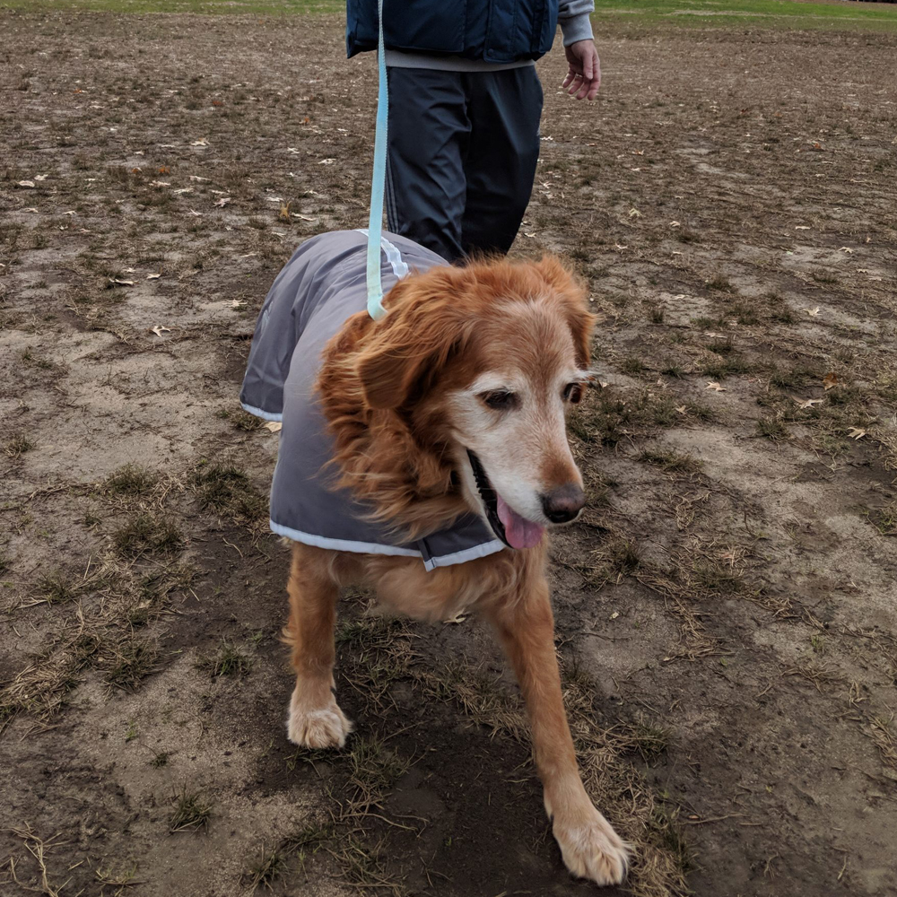 Golden retriever with special needs   Marty  Sponsor Dogs   Animal