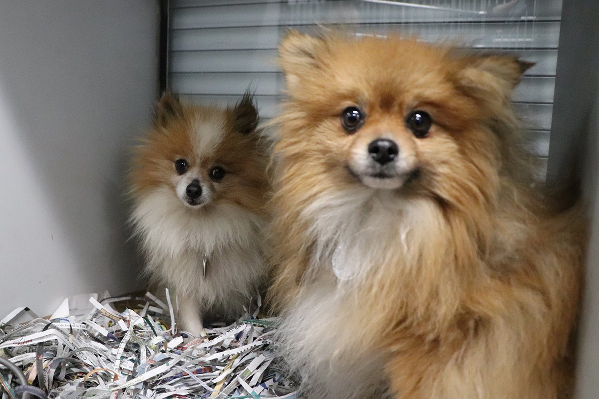 Pomeranians Rescued From Horrific