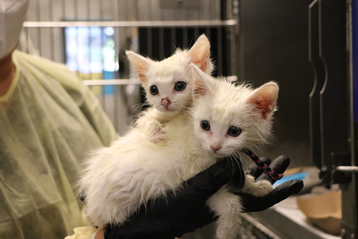Abandoned Kittens Find Hope Our Latest Rescues Animal League